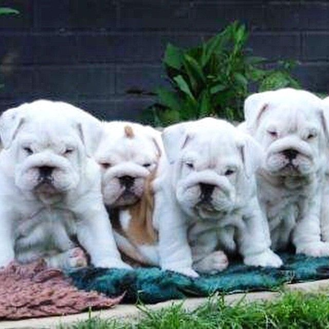 English Bulldog puppies                                                                                                                                                                                 Mais