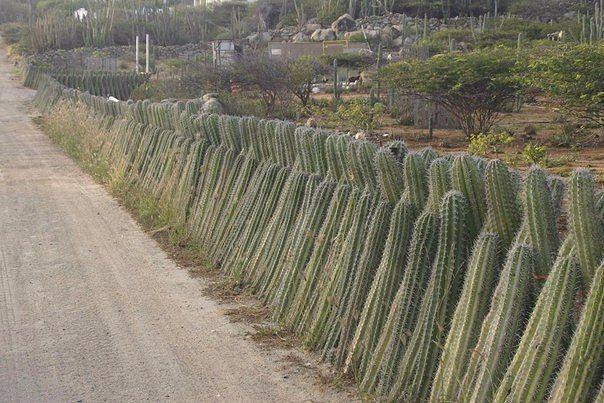 Частокол из кактусов