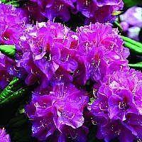 Sommerhuset har en meget våd grund og Rhododendron er derfor en god ide... og meget smuk ide!