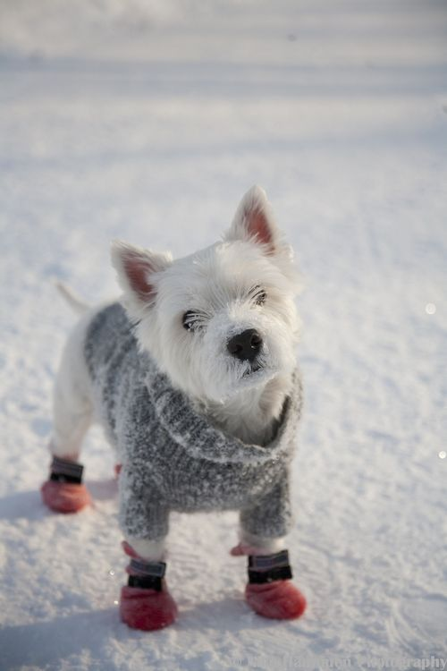 Westie dressing for snow day