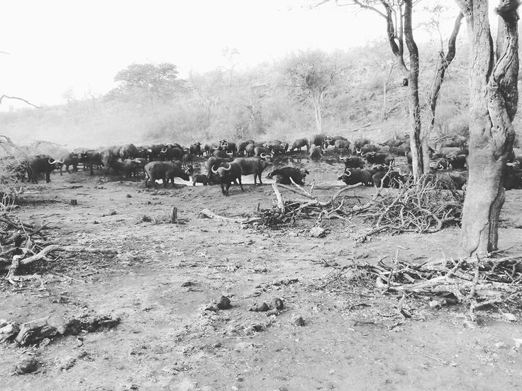 Big herd of African Buffalo storming down the ridge to the waterhole Photo Credit: Chantelle Terblanche