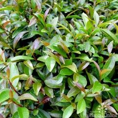 Syzygium australe 'Elite' Gently weeping branches and a dense growth habit with bronze coloured new growth.