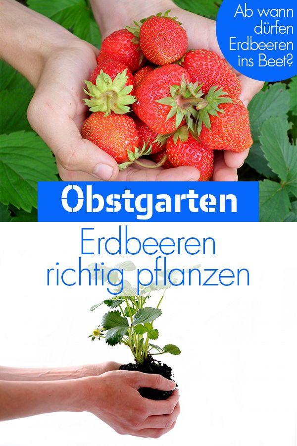 Erdbeeren Pflanzen Erdbeeren Pflanzen Blaubeeren Pflanzen Erdbeeren