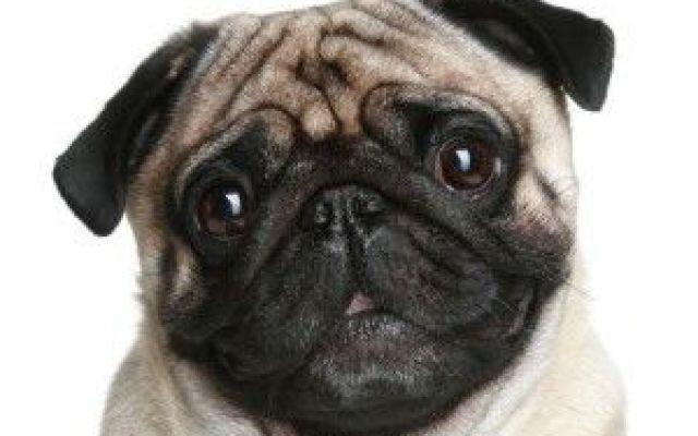 Il carlino,il piccolo cucciolo di casa Piace a tutti piccoli e grandi grazie alla sua dolcezza, al suo muso particolare e un nome a dir poco adorabile, il carlino è ormai entrato nel top five dei cani più alla moda del momento e spesso vi #carlino