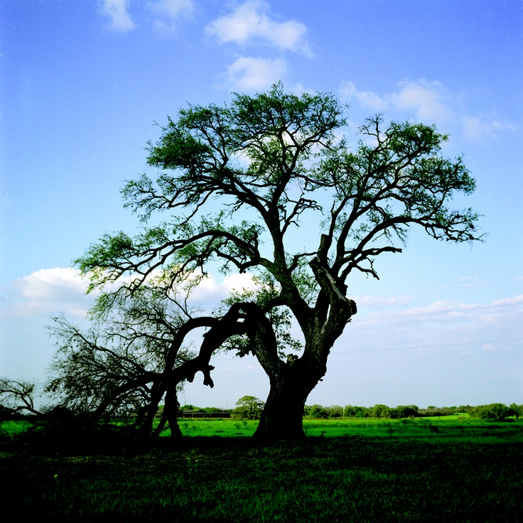 """The Deaf Smith Oak, La Vernia, from my new book, """"Living Witness: Historic Trees of Texas"""" see more at livingwitness.net"""