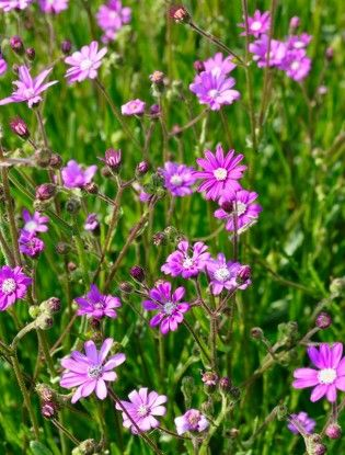16 best pink flowered plants images on pinterest claire austin a delightful little plant with small bright pink daisy shaped flowers that are carried on slender branched stems above a rosette of mid green leaves mightylinksfo