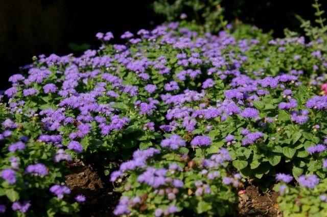 Агератум Хьюстона, или Агератум Гаустона, или Агератум мексиканский, или Долгоцветка (Ageratum houstonianum)
