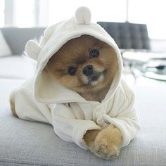 Jiff the Pomeranian ist zu niedlich, um tatsächlich zu existieren, und ich bin nicht davon überzeugt, dass er überhaupt real ist – FOTOS   – Dogs