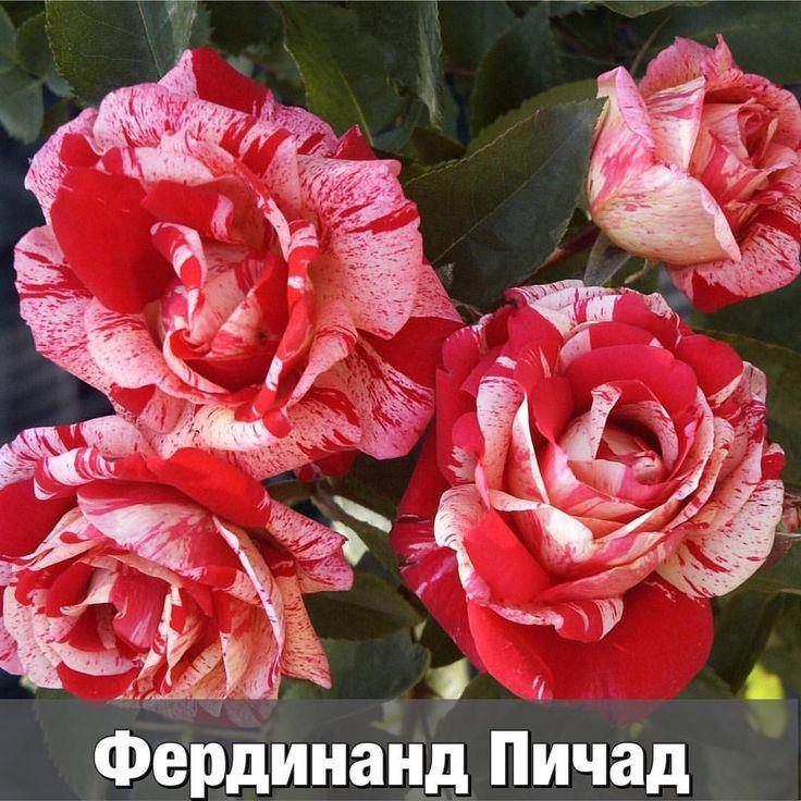 281 отметок «Нравится», 15 комментариев — Агрохолдинг ПОИСК(интер.-маг.) (@agrofirma_poisk) в Instagram: «Это одна из самых красивых повторноцветущих роз с полосатыми лепестками. 😍Ее карминово-розовые…»