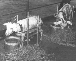 1950's Bikini atoll atomic testing.Test animals were deliberately confined to the ships of Operation Crossroads. Goat #53, penned like this on the Nevada deck, died of radiation exposure two days after Able was detonated.