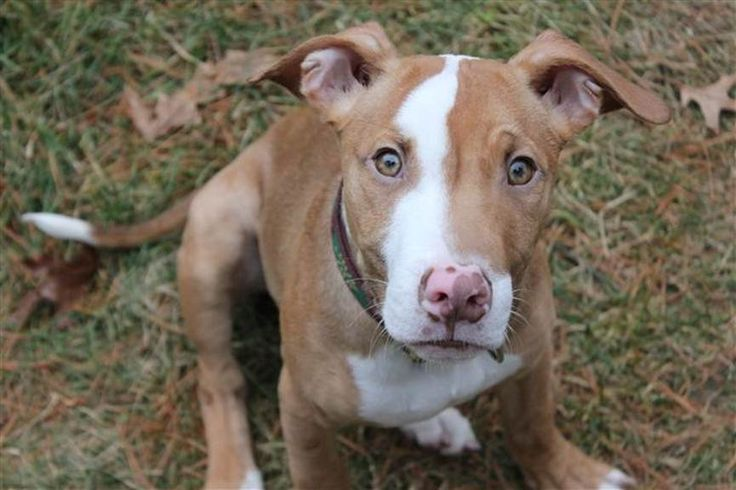 red nose pitbull mix with german shepherd - Google Search