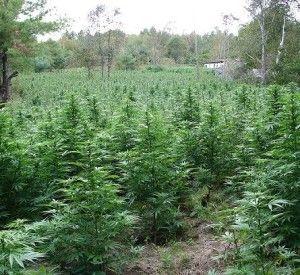 Super soil cannabis