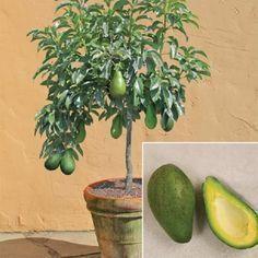 Abacate em vaso de cerâmica