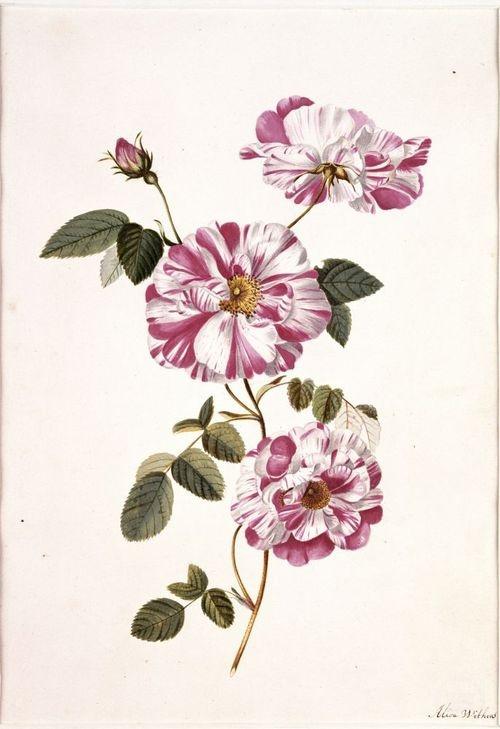 Rosa 'Rosa Mundi' ( around 1700) by Alida Withoos (circa 1659 –1730).