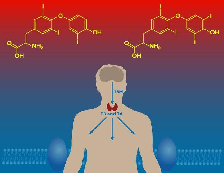 L'hypophyse, dans ses différentes fonctions, est le chef d'orchestre des glandes hormonales.