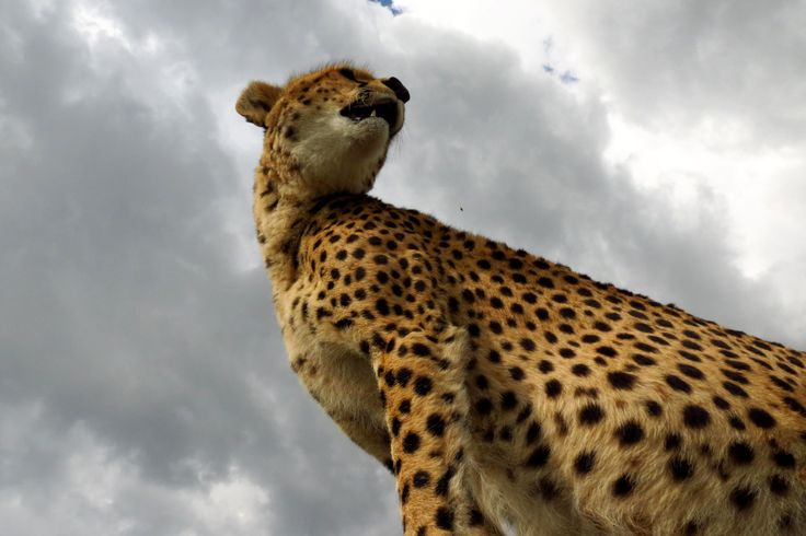 You might wonder about the perspective here.  This young cheetah decided to jump up on our Land Rover right above my head.  It scared the living daylights out of me but I still got the shot!