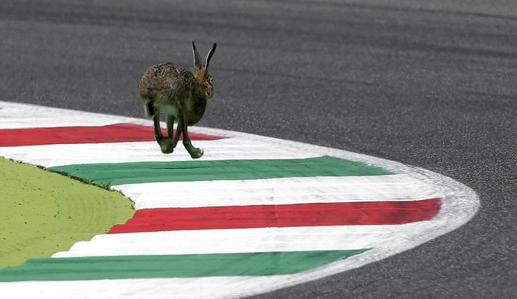 A wild rabbit runs on the track during the qualifying session for the Italian Grand Prix at the Mugello circuit, Italy, on May 30, 2015.