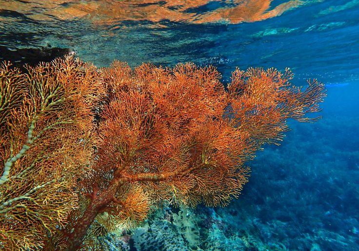 Gorgonia a pelo d'acqua