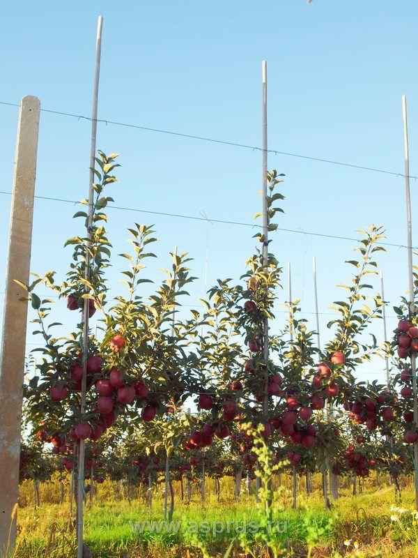 Ред  Чиф – осенний сорт яблони для южной зоны промышленного садоводства  |  АППЯПМ
