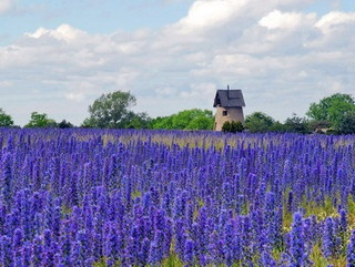 Viper's Bugloss on Gotland, Sweden.