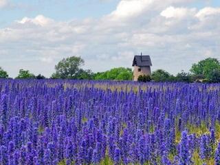Viper's bugloss flower on Gotland Island, Sweden | Blåeld på Gotland