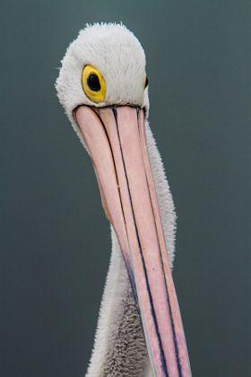 Australian pelican portrait - stock photo