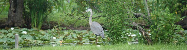 Friends of Kenilworth Aquatic Gardens - A National Park in Washington DC