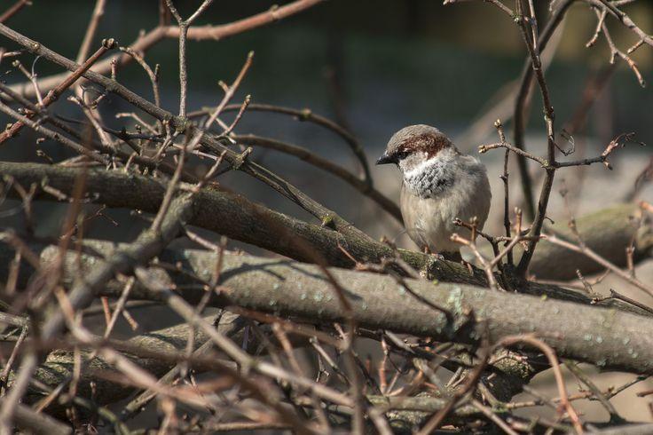 Sparrow 🌿  #sparrow #bough #naturephotography #bird #passerdomesticus #flowers #brown #garden #canon #telephotolens #chip #cute #nature # plume #beak #nest #sun #afternoon #spring #canoneos #photo #naturelovers