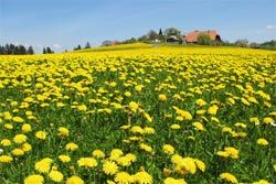 Health Benefits of Eating Dandelions – How to Harvest Leaves, Greens, Flowers & Roots