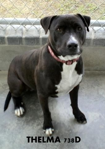 THELMA~ Pit Bull Terrier • Adult • Female • Large Humane Society of Marion County Ocala, FL