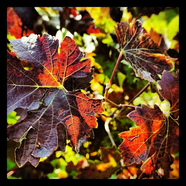 """@roncocalino's photo: """"Loving autumn in Franciacorta. Foglie di Cabernet. #franciacorta #autumn #autunno #cabernet #leaf #foglia #red #yellow #orange #instaitalia #italia #lombardia #love"""""""