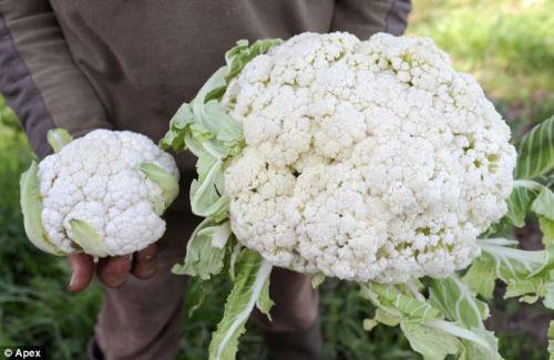 Giant cauliflower!
