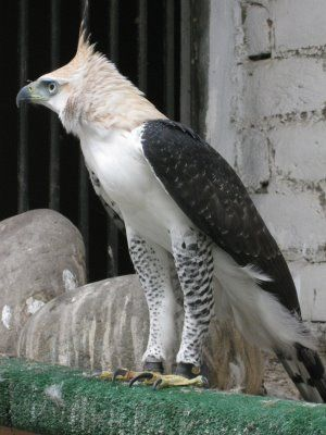 "[FACTOID: The Harpy Eagle is the largest and most powerful eagle in the world.---------------------------[HARPY: "" Dats allz yoo know abouts me?  Not evens where me be native to?"""
