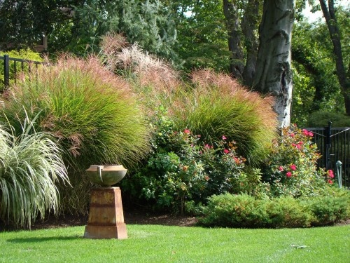 Ornamental grass and knockout roses my landscape pin for Tall grass landscaping
