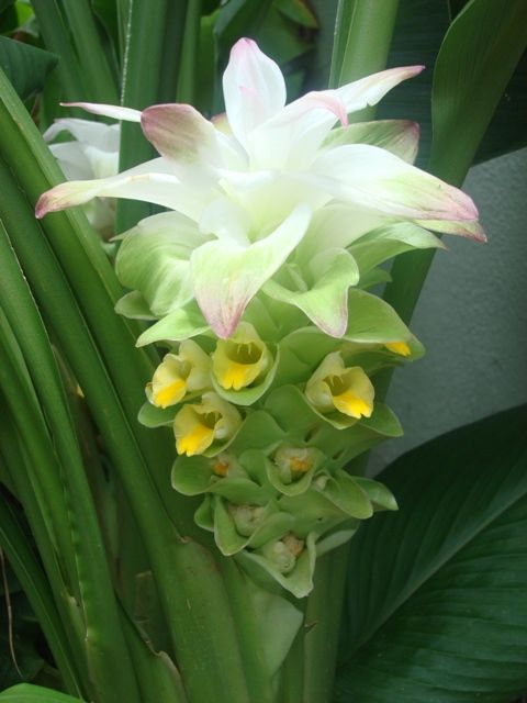 turmeric flower 3