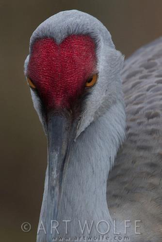 Sandhill Crane, George C. Reifel Migratory Bird Sanctuary, British Columbia, Canada (c) Art Wolfe