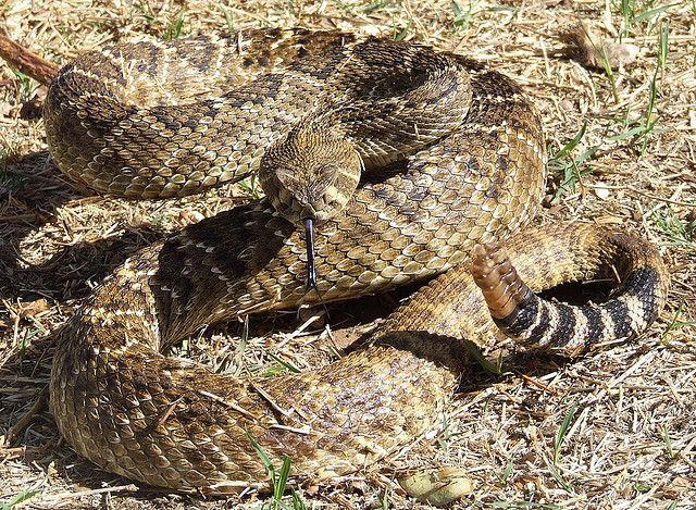Western Diamondback Rattlesnake by texastrapper, via Flickr