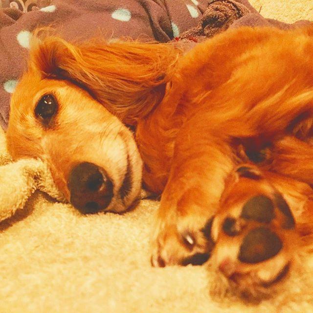 - 大丈夫だよ〜😆😆 まだ出かけないから… 寝てていいからね (~_~;)💦 -  フォロー&いいね💕 ありがとうございます🤗 🍀🍀🍀🍀🍀🍀🍀🍀🍀🍀🍀 子犬パピートレーニングや成犬のしつけお悩み。 お気軽に御相談下さいね - 埼玉県、東京都近郊区出張可能 《libalive510@gmail.com 》 ドッグトレーニング◆リバライブ 🐾トレーナー後藤&LIB 第1種動物取扱業保管訓練第697号 -  #dachshund #犬 #ドッグトレーナー #ドッグトレーニング#dog #dogtrainer #ミニチュアダックスフンド#犬のしつけ #さいたま市#犬の問題行動 #ダックス #子犬#埼玉県 #浦和#ダックスフント #吠え#ワンコ#ドッグ#愛犬#わんこ#短足部#殺処分ゼロ#イヌ#犬なしでは生きれない
