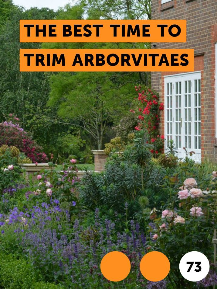 The Best Time To Trim Arborvitaes Potted Trees Sweet Olive Tree