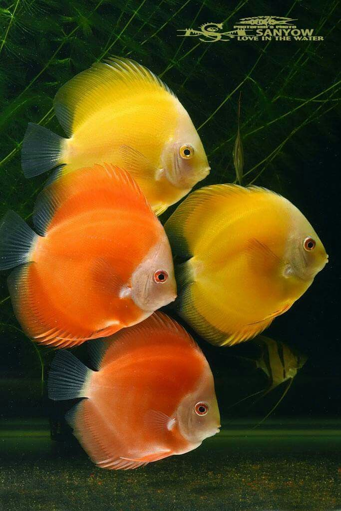 468 Best Discus Fish Images On Pinterest Discus Fish