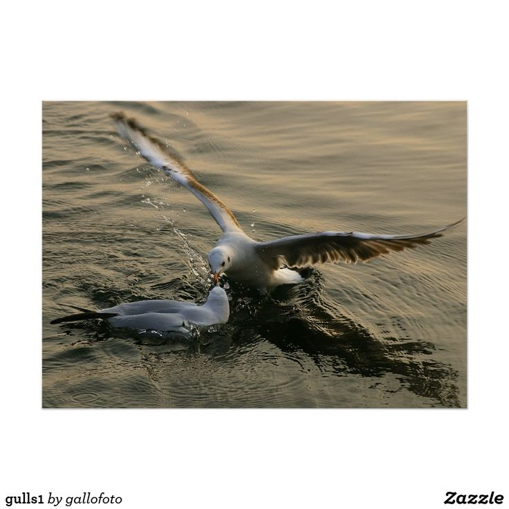 gulls1
