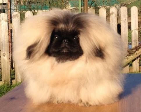 Pekingese dogs. Vannjty Pekinois-pekingese https://www.facebook.com/photo.php?fbid=400791716753718&set=a.115350061964553.23732.100004686783519&type=1&theater VANNJTY JACINTHE FOREVER Female born June, 17th 2014 Pictured 7 months in 4 days..