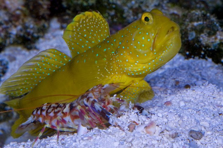 Yellow Watchman Goby Salzwasserfisch Marine Fish Invertebrates Corals Marine Fis Corals Fis Fish Goby Invertebrates Marine Salzwasserf Tank