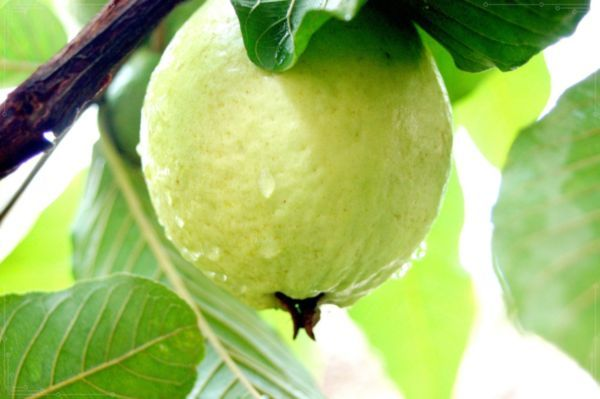 Want to get a glowing healthy skin, eat the fruit guava will give the 7 best benefits