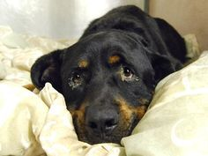 DARWIN - ID#A1079264  I am an unaltered male, black and red Rottweiler mix.  The shelter staff think I am about 5 years old.  I was found in NY 10029.  I have been at the shelter since Jun 29, 2016.