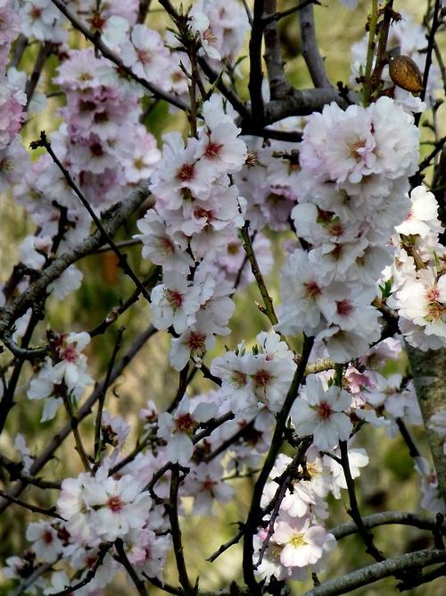 Flowering almond tree, Majorca