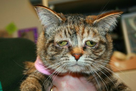 Cat with genetic abnormalities who resembles 'Lil Bub' needs loving family