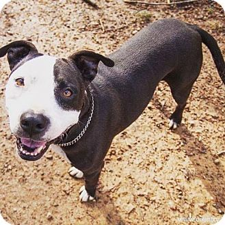 Rockville, MD - American Staffordshire Terrier. Meet Brock, a dog for adoption. http://www.adoptapet.com/pet/17665783-rockville-maryland-american-staffordshire-terrier