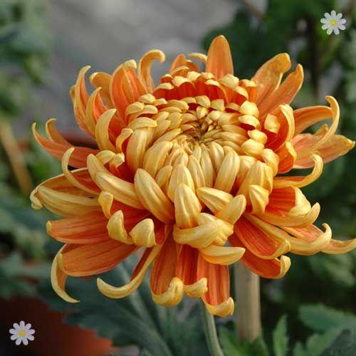 Chrysanthemum `Garden Bloom` Collection