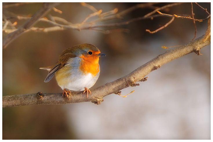 Birds 64 - Robin by RomRom53.deviantart.com on @deviantART